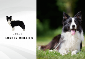 Border collies - overview of the border collie dog breed - sheep dog and smartest dog in the world (1)