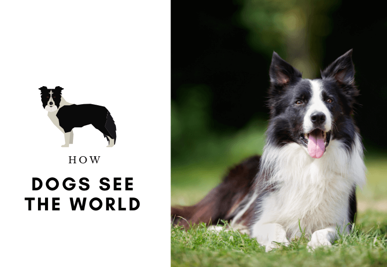 border collies - border collie - dog breed
