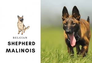 Belgian shepherd malinois - how to train a malinois - thing to know before buying a malinois (1)