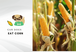 Can dogs eat corn – can dogs have corn in the cob
