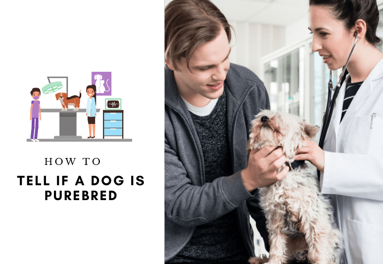 How to Tell if a Dog is Purebred - identify the breed of a dog - Purebred Dog Test (6) (1)