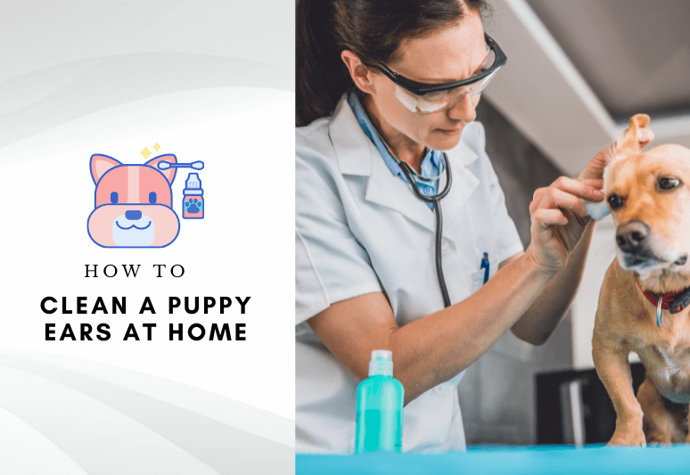 How to clean a puppy's ears at home - dog ear cleaning tips (1)