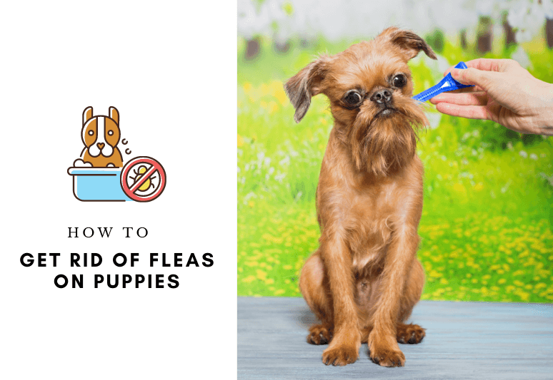 How to get rid of Fleas on Puppies - Remove and prevent fleas from your puppy (2)