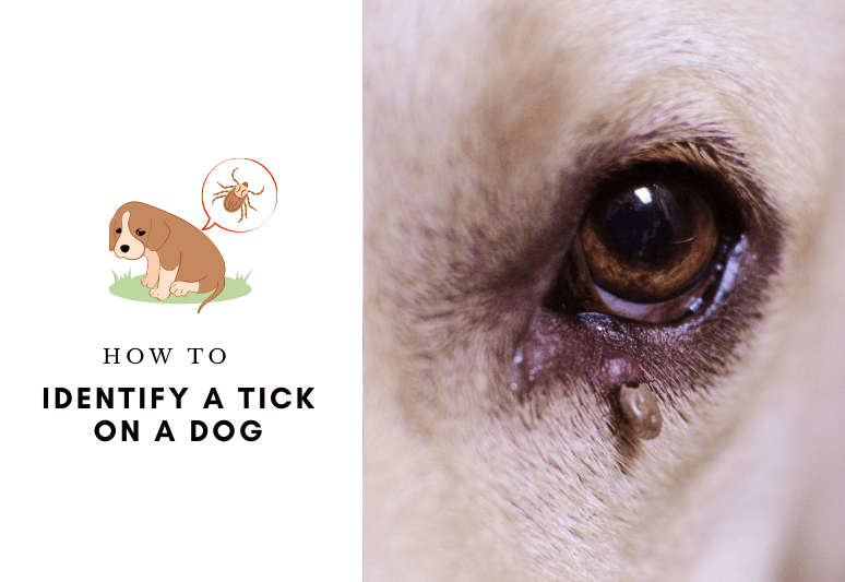 How to identify a tick on a dog - how to spot ticks on dogs - dog tick infographic
