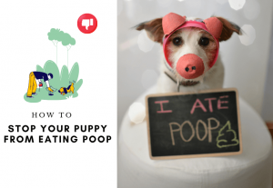 How to stop your puppy from eating poop - why my puppy feast on feces (1)