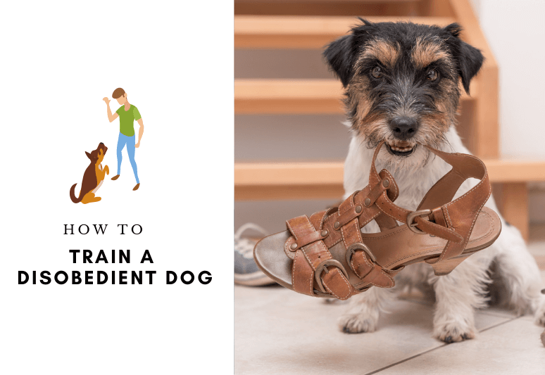 How to train a disobedient dog - how to treat disobedience in dogs