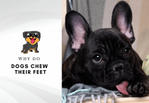 Why do dogs chew their feet - paw licking in dogs - why do dogs chew on their legs - dog chewing paws remedy