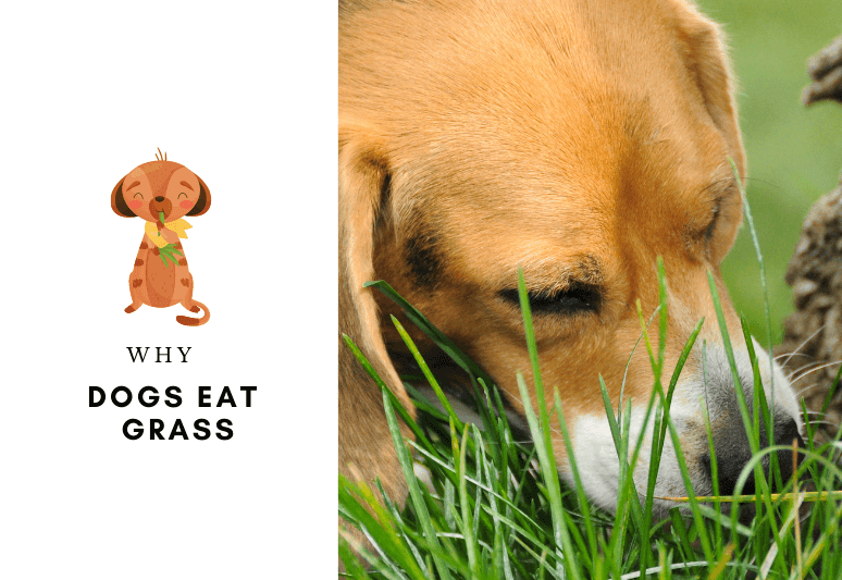 Why do dogs eat grass - why dogs chew grass - grass eating for dogs is safe