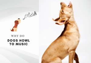 Why do dogs howl to music - why is my dog howling