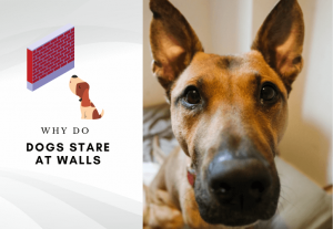Why do dogs stare at walls – Why does my dog stare at the wall