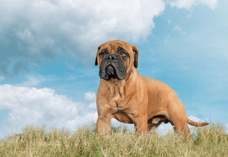 Bullmastiff best guard dog breeds for families and protection