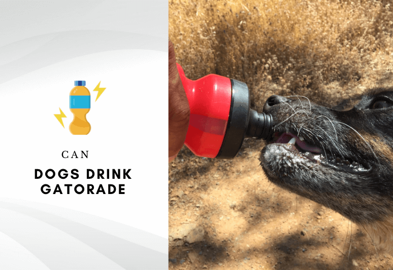 Can dogs drink gatorade - can dogs have gatorade and sport drinks