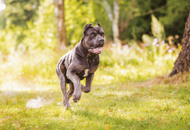Cane Corso best guard dog breeds for families and protection