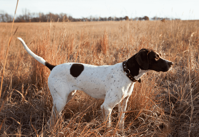 English pointer Truffle dog breeds- top 10 dog breeds for truffle hunting