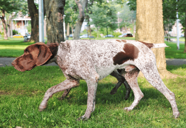 German pointer Truffle Hunting Dogs