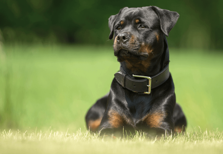 Rottweiler best guard dog breeds for families and protection