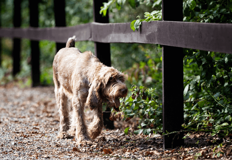 Spinone-italiano-Truffle dog breeds- top 10 dog breeds for truffle hunting - How much is a truffle dog