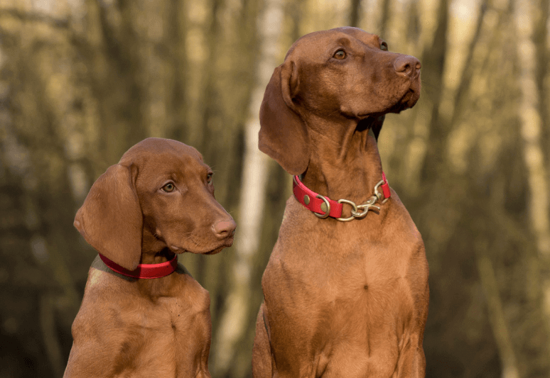 Viszla Truffle dog breeds- top 10 dog breeds for truffle hunting - how much does a truffle dog cost