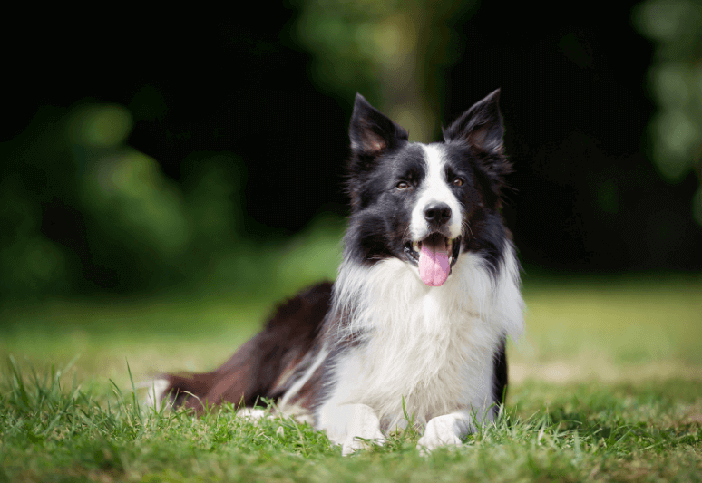 border collie Truffle dog breeds- top 10 dog breeds for truffle hunting