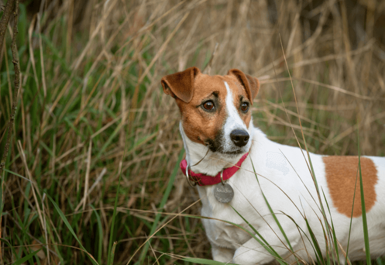 jack russel terrier Truffle dog breeds- top 10 dog breeds for truffle hunting