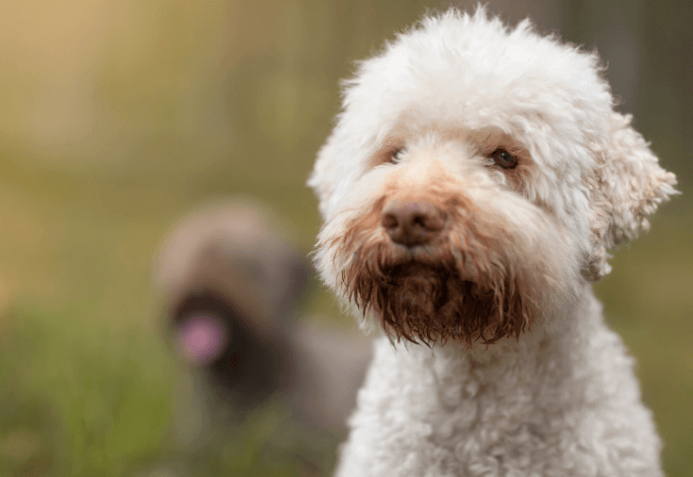 lagotto romagnolo italian truffle dog breed - What breed of dog sniffs truffles