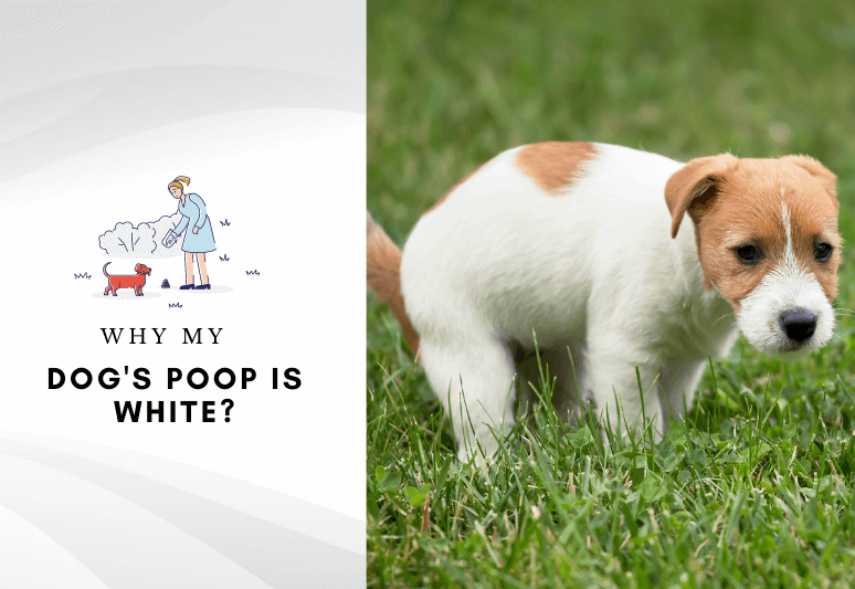 why is my dog's poop white - causes and treatment white poop in dogs
