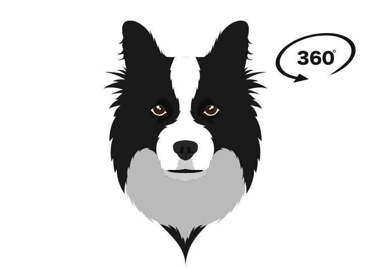 Border Collies overview & characteristics