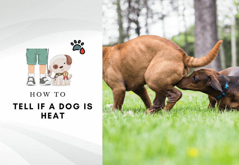 Dog first season - how to tell if a dog is in heat