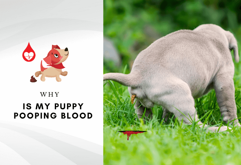 Puppies pooping blood - Why is my puppy pooping blood