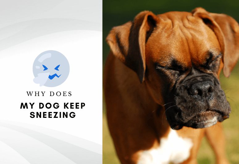 What does my dog keep sneezing - my dog is sneezing a lot