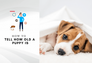 puppies age by teeth - How to tell how old a puppy is