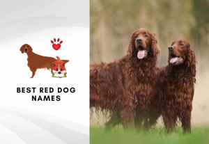 Best red dog names for fiery haired puppies - Best names for orange dogs and ginger dogs